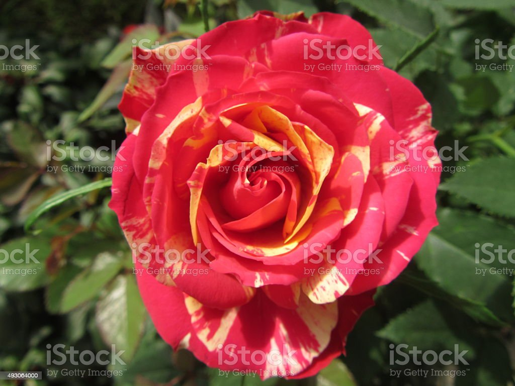 Single Red/Yellow Variegated Rose in Natural Setting stock photo
