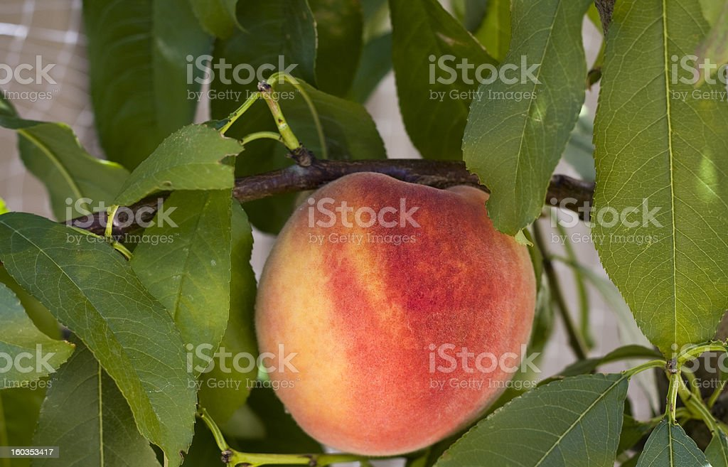 Single ripe peach on a tree stock photo