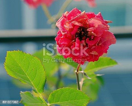 867916232 istock photo Single rose in garden 831327062