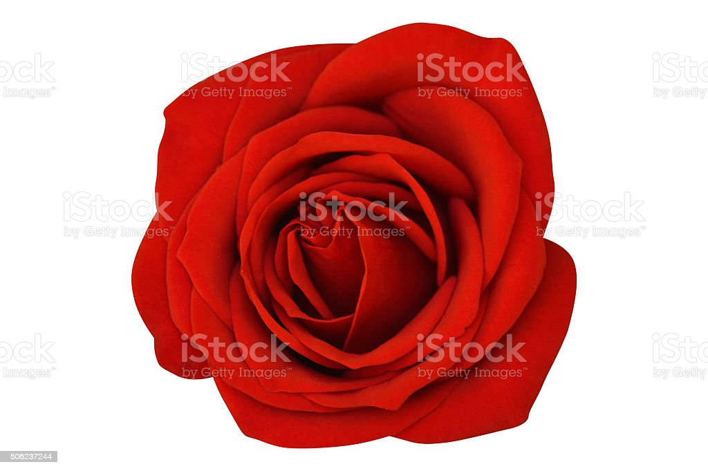 Single Rose Isolated On White Background stock photo