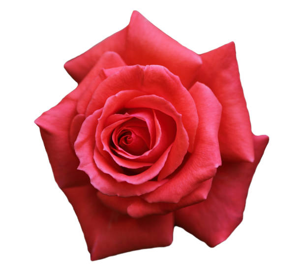 Single rose picture id1060376908?b=1&k=6&m=1060376908&s=612x612&w=0&h=jq np3ig7f8ii8kjzis0yq6hcelbdkqumzmgzbeeibq=