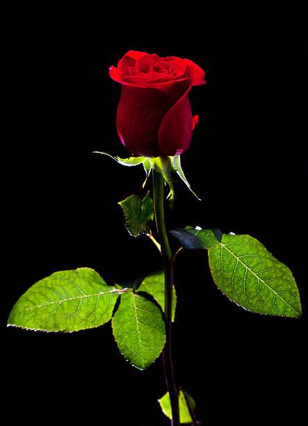Single rose picture id182382901?b=1&k=6&m=182382901&s=612x612&w=0&h=diu3id mxggxu 5qzu2f3ju49bvydmbsjhxmpg2bq m=
