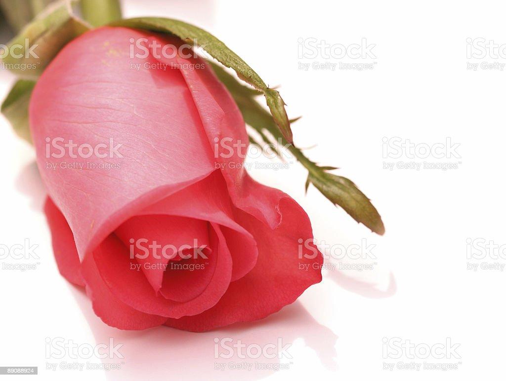 Single Rose Lizenzfreies stock-foto