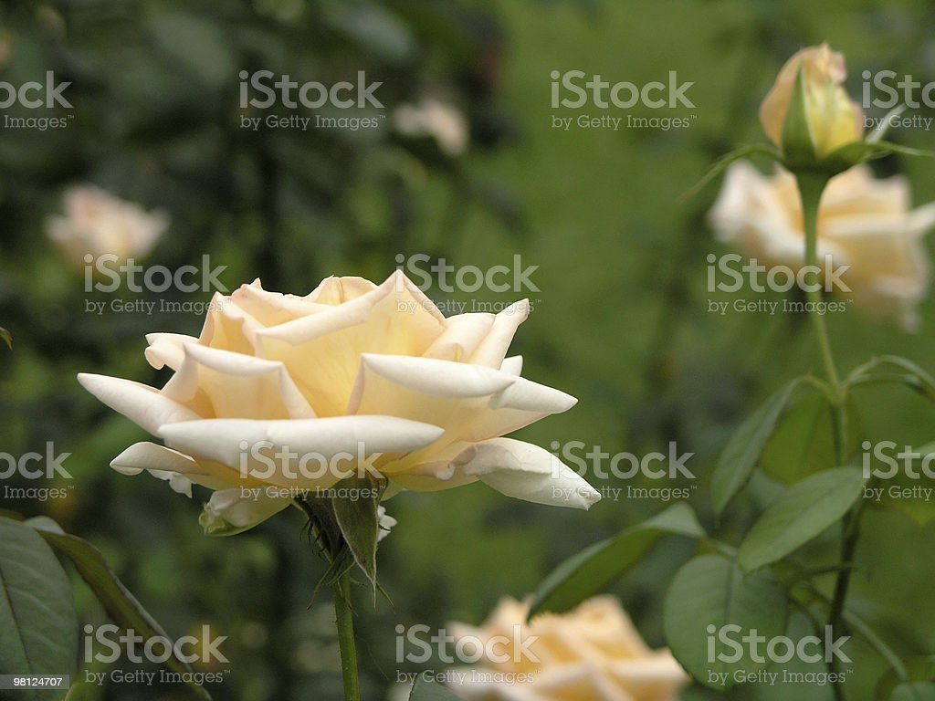 single rose royalty-free stock photo