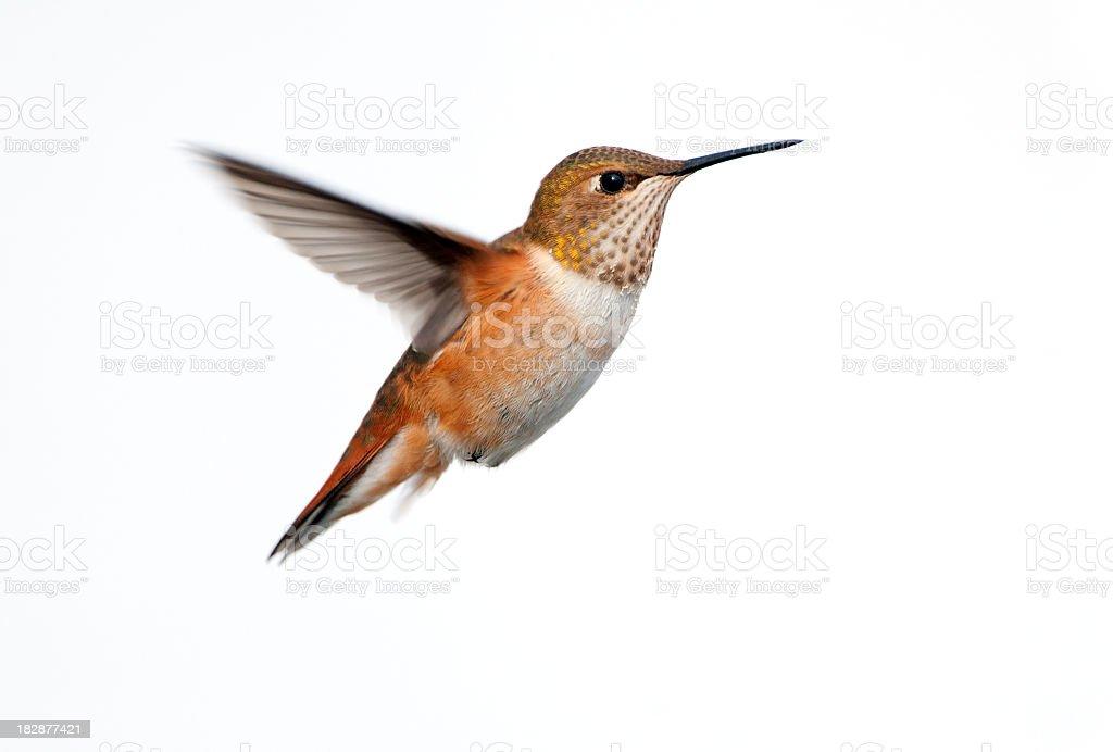 A single rufous hummingbird caught in mid flight royalty-free stock photo