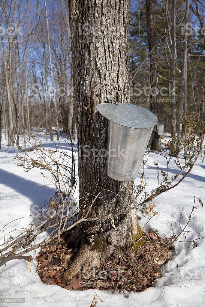 Single Sap Bucket on Maple Tree royalty-free stock photo