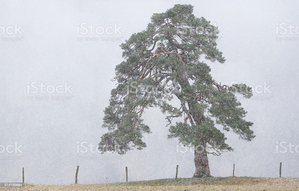 Single Scots Pine or Pinus Sylvestris standing in heavy snowfall. stock photo