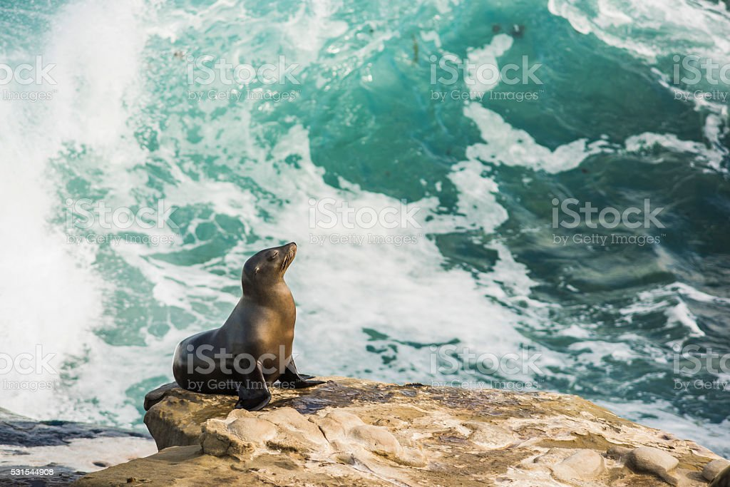 Single sea lion on a cliff with crashing waves stock photo