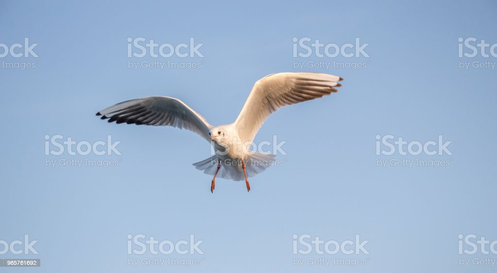 Single seagull flying in a sky - Royalty-free Animal Stock Photo