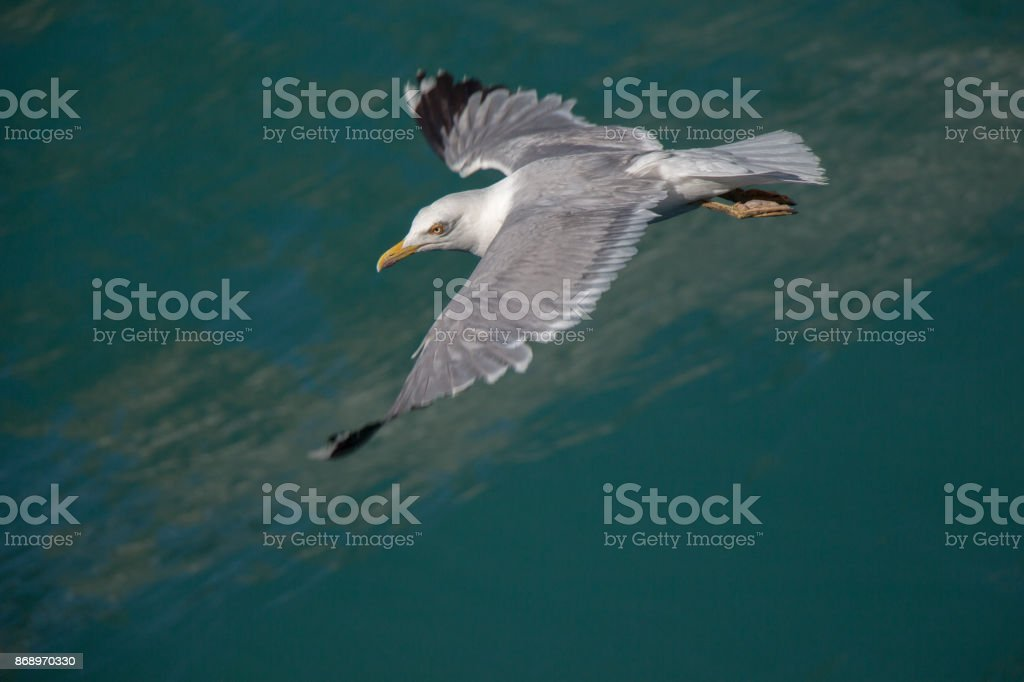 Una gaviota volando sobre las aguas de mar - foto de stock