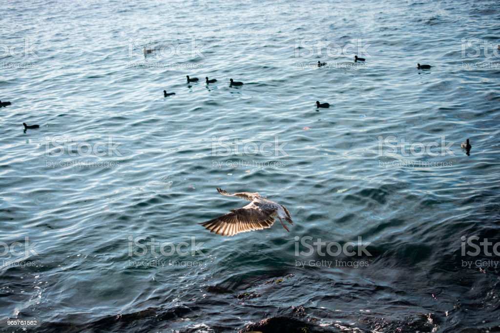 Single seagull flying over sea waters - Royalty-free Animal Stock Photo