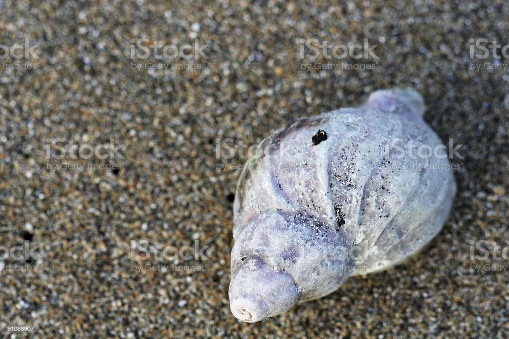 single seashell royalty-free stock photo