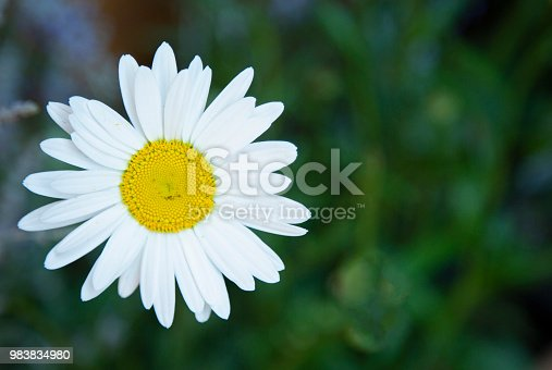 Focus on shasta daisy with defocused green foliage in the background