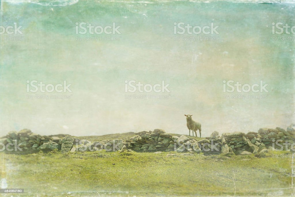 Single sheep behind stone wall stock photo