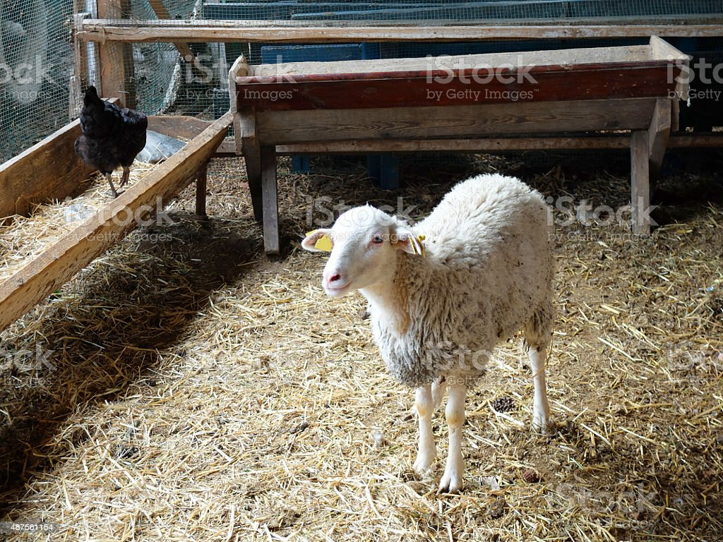 Single sheep in a stable in the Farm. stock photo
