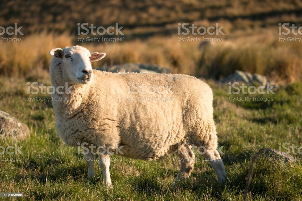 Single sheep on a pasture at sunset stock photo