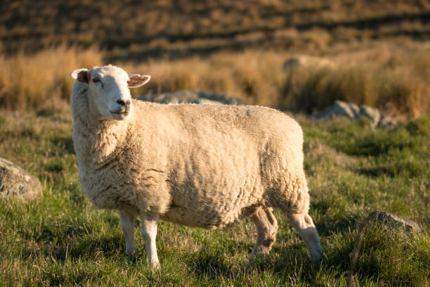 single sheep on a pasture at sunset - one animal stock photos and pictures