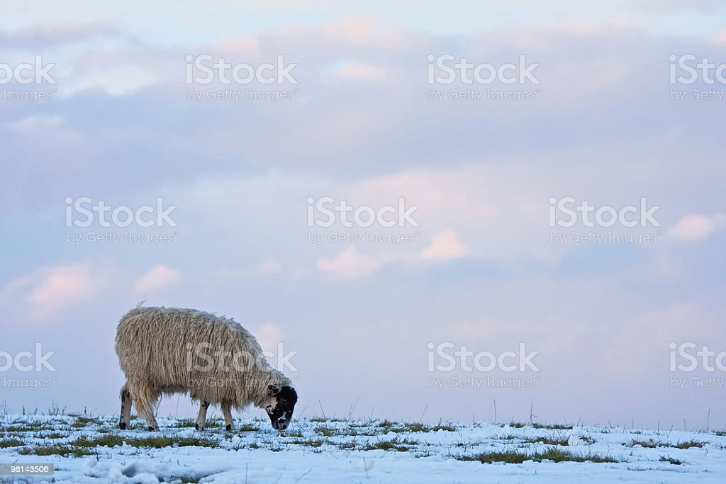 Single sheep on a snowy hilltop royalty-free stock photo
