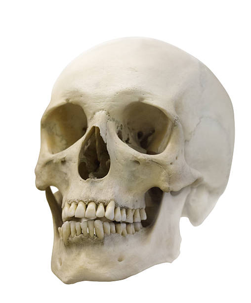 single skull isolated on white stock photo