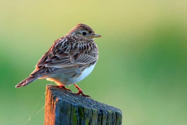 Single Skylark bird on a fence over Biebrza river wetlands in Poland stock photo