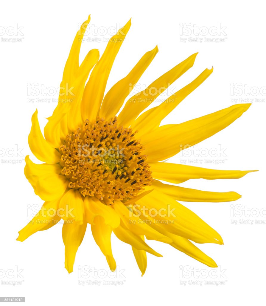 single small isolated sunflower bloom royalty-free stock photo