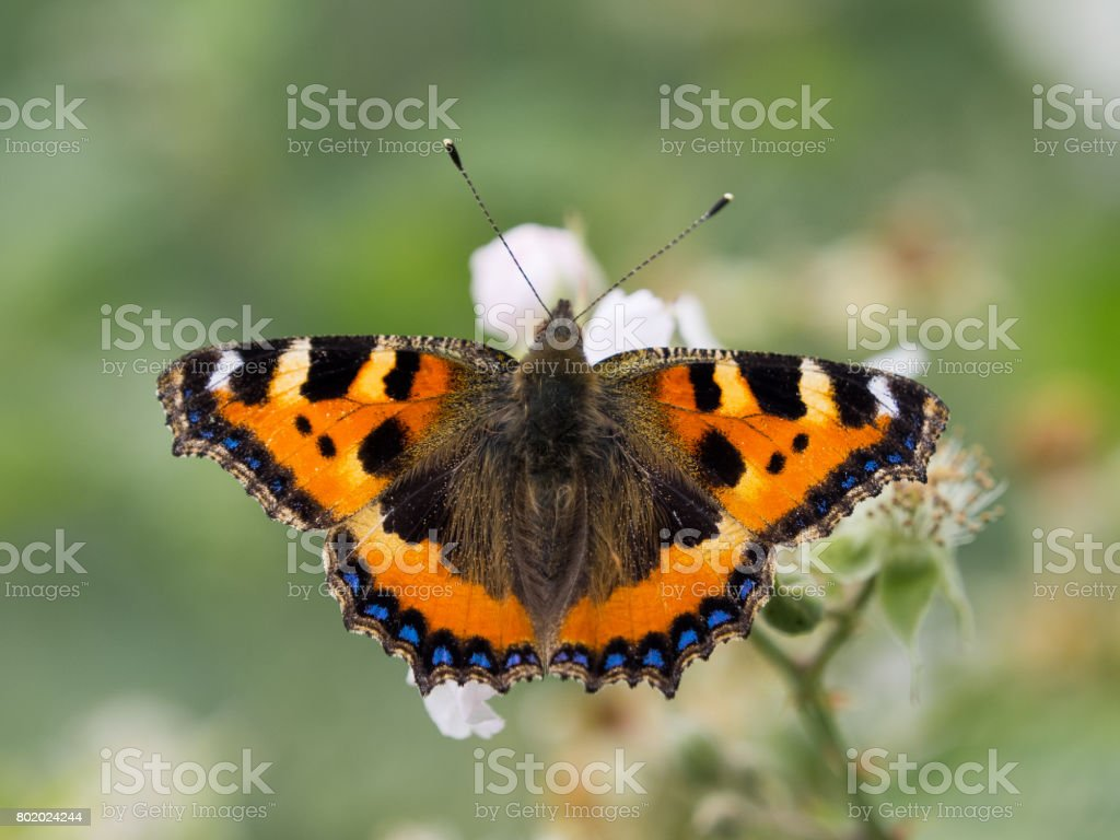 Single Small tortoise shell butterfly stock photo