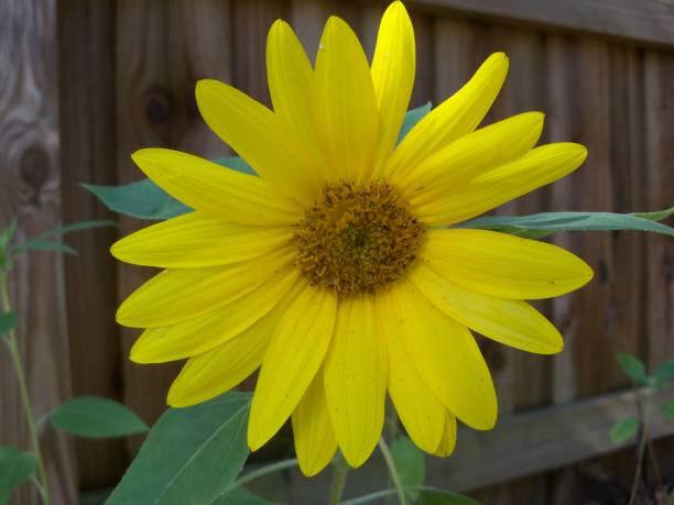 A single small yellow sunflower stock photo