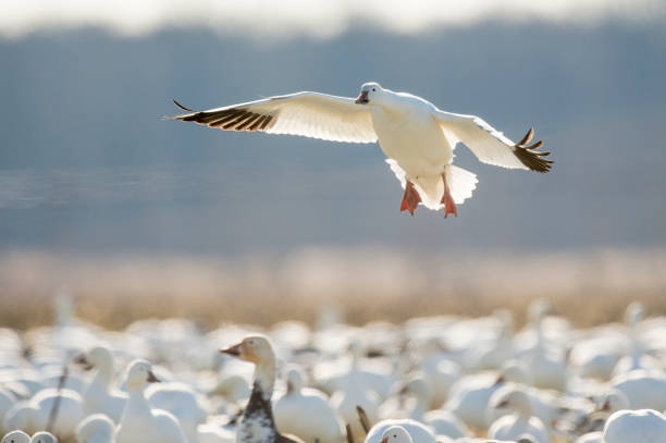 A Single Snow Goose flies in to land in a flock of Snow Geese with its wings spread and glowing from the bright sunlight. A Single Snow Goose flies in to land in a flock of Snow Geese with its wings spread and glowing from the bright sunlight. snow goose stock pictures, royalty-free photos & images