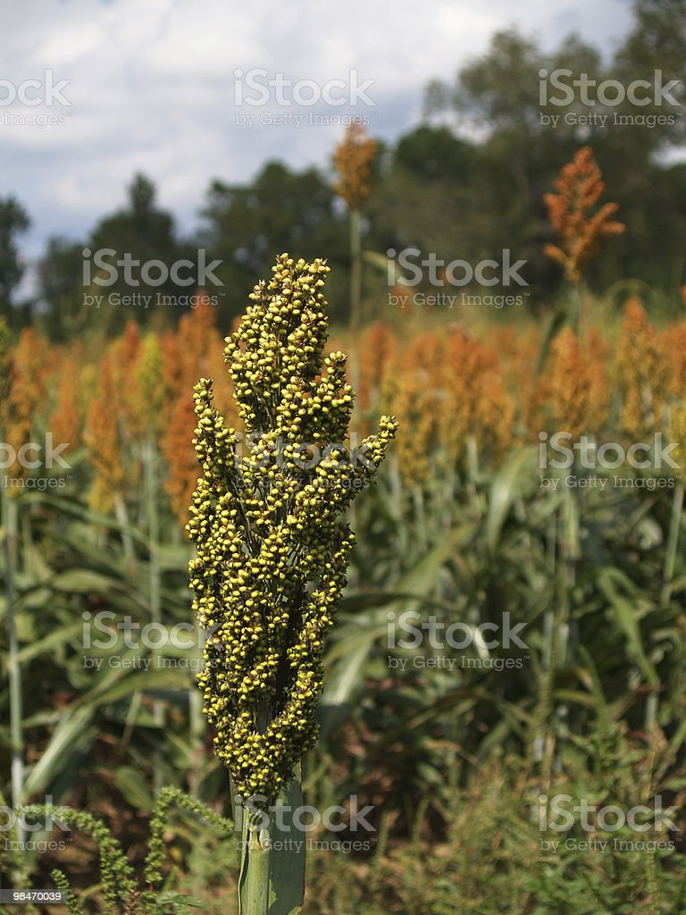 Single Sorghum Spike Beside a Ripening Field royalty-free stock photo