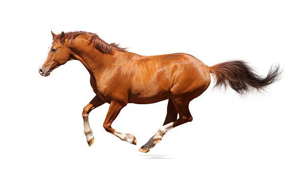 Single sorrel trakehner stallion leaping in the air picture id95374373?b=1&k=6&m=95374373&s=612x612&w=0&h=pyuad8a lnrbia9zl2mirwikc6ufmm9ah0zpdbvfo 4=
