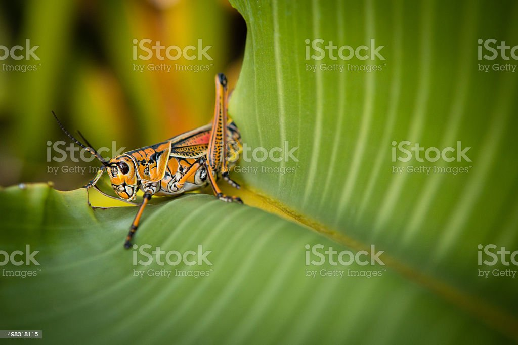 Single Southeastern Lubber Grasshopper Sitting on Leaf stock photo
