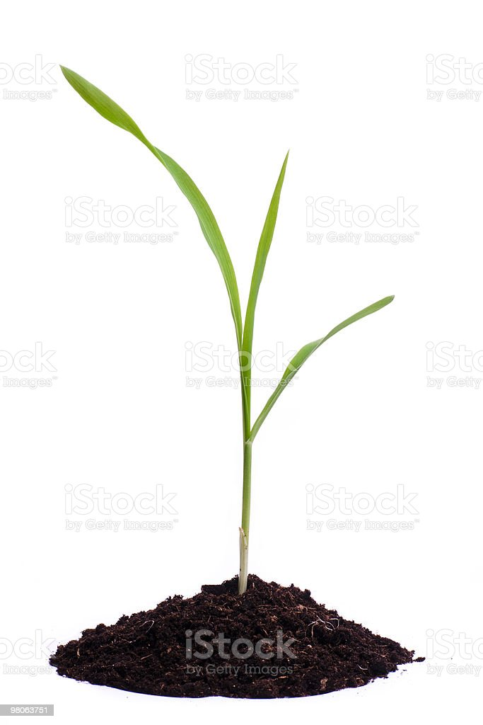 Single sprout of corn royalty-free stock photo