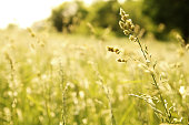 Single stem of grass in focus in a field of wild grasses