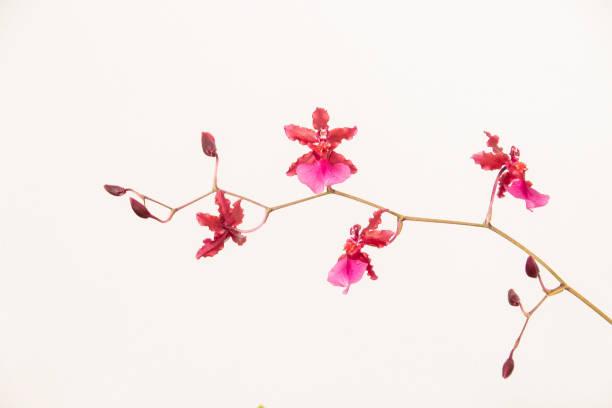 Einzelstamm von rosa Oncidium Orchidee Blumen – Foto