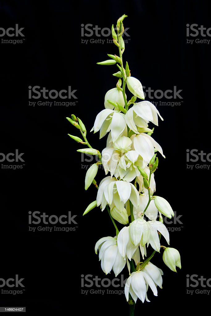 Single stem of white yucca flowers on black background stock photo