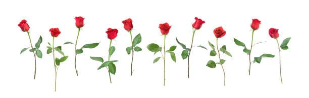 Single stem roses picture id157528572?b=1&k=6&m=157528572&s=612x612&w=0&h=ferutj mb sv21t1or4lywe61hhqu8udjuljailddx8=
