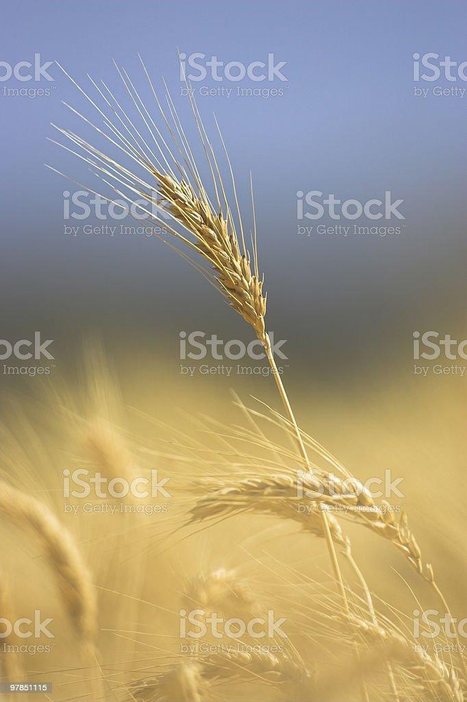 Single Strand of Barley royalty-free stock photo