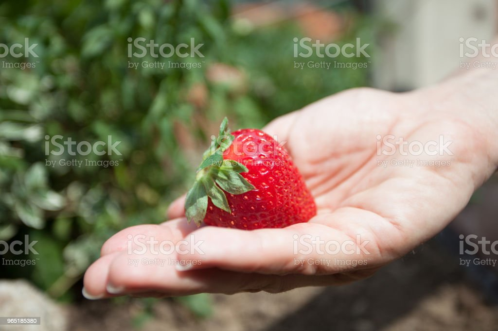 single strawberry in hand royalty-free stock photo