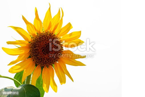 Single Sunflower isolate on white background.