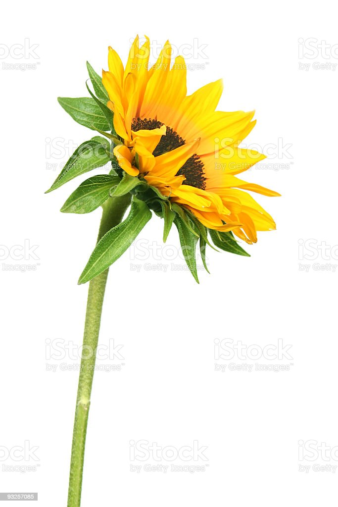 A single sunflower on a white background royalty-free stock photo