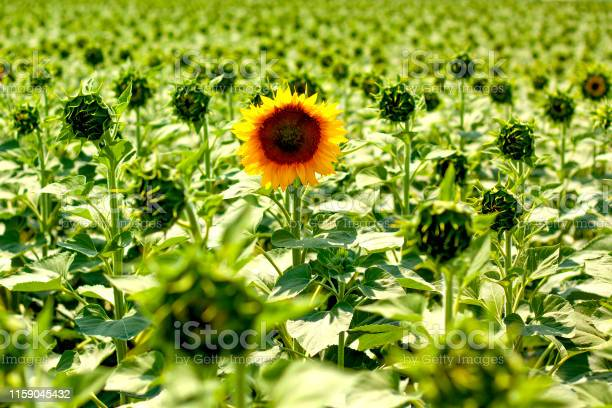 Single sunflower on the background of the field the concept of place picture id1159045432?b=1&k=6&m=1159045432&s=612x612&h=eggpwjob2paakcj1pgk ftnu22pq3pq3su17zknu5tk=
