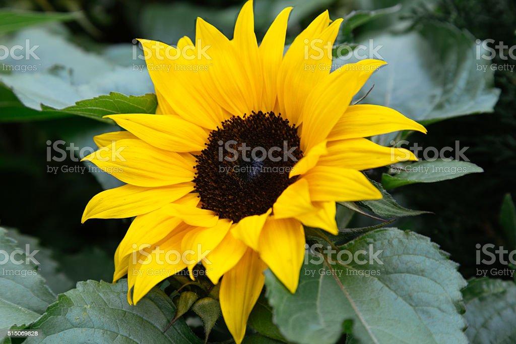 Single Sunflower stock photo