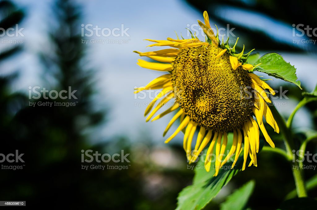 Single sunflower under the sun royalty-free stock photo