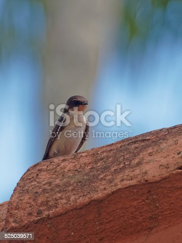 Single swallow stands quietly on a roof-tile in Bahia, Brazil. The swallows and martins are a group of passerine birds in the family Hirundinidae which are characterised by their adaptation to aerial feeding. Swallow is used colloquially in Europe as a synonym for the barn swallow.