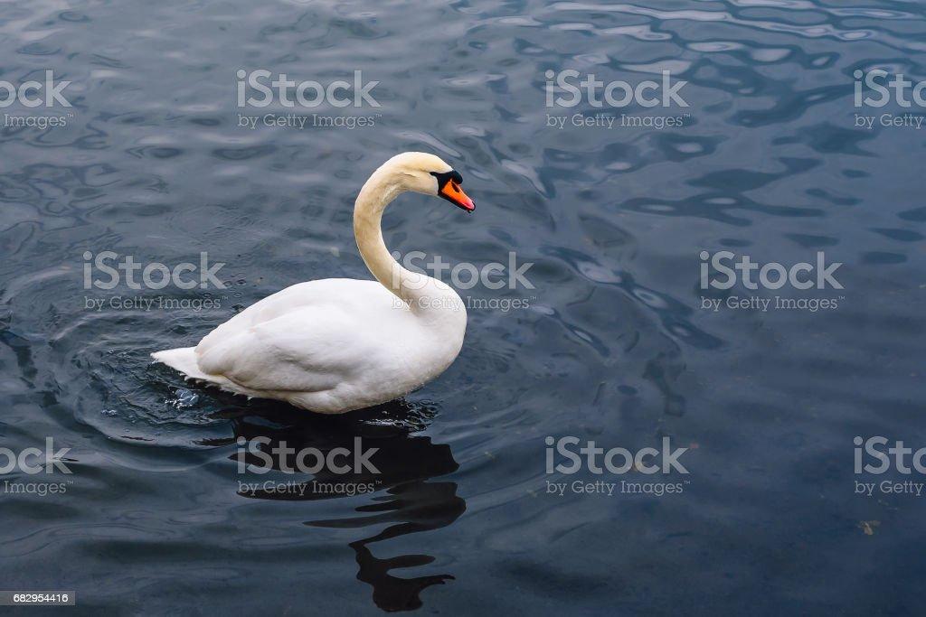 Single Swan on the Pond. foto de stock royalty-free