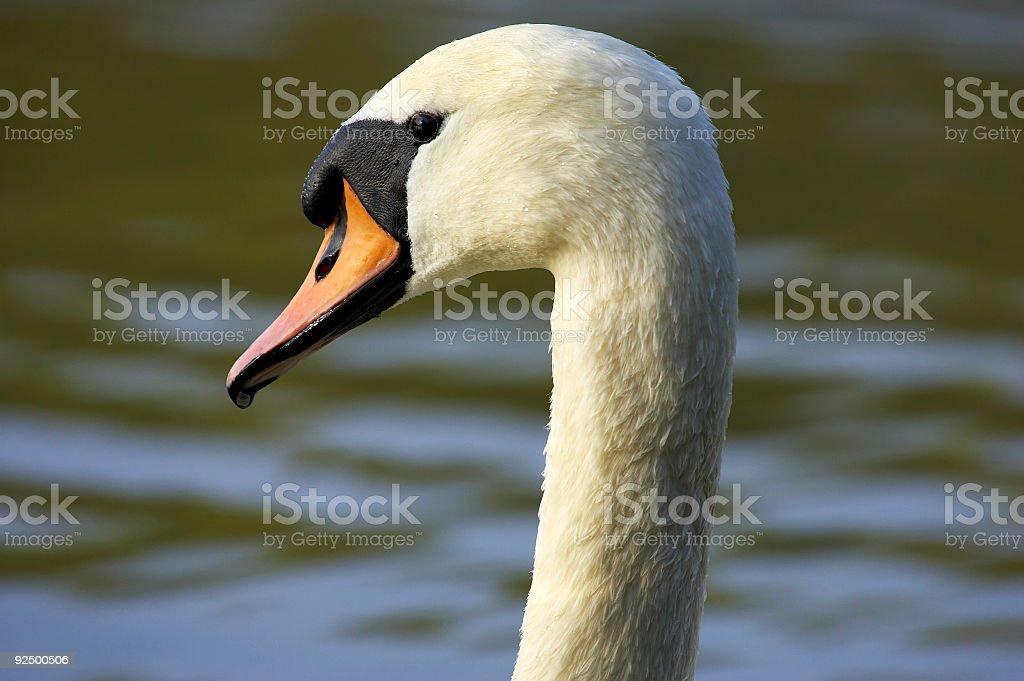 Single swans head royalty-free stock photo
