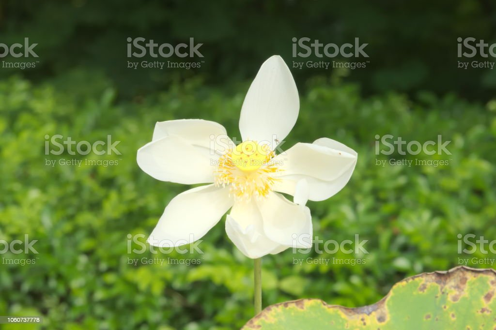 A single, tall white, fully opened lotus flower, with its inner...