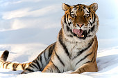 One tiger laying in the snow licking lips
