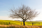 Bare tree at a sunny day near fenced hilly grassland