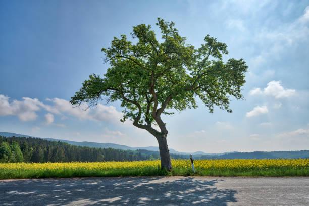 einzigen Baum neben der Straße mit rapsfeld – Foto